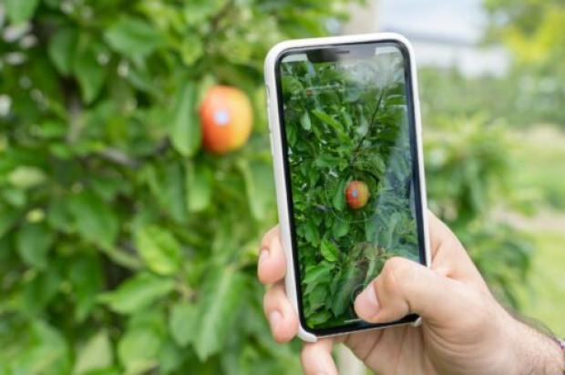Smartfon zmierzy rozmiar jabłek i obliczy ile ich jest na drzewie