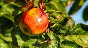 Nowa odmiana jabłka odporna na wysoką temperaturę?