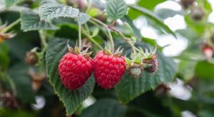 Tunele przyszłością upraw owoców jagodowych