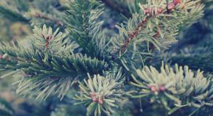 Wielkopolskie: Ponad 700 choinek od pilskich leśników