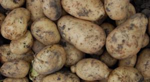 Warto kontrolować stan bulw ziemniaka w przechowalni