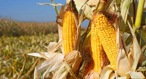 KOWR: dobre zbiory kukurydzy w tym roku