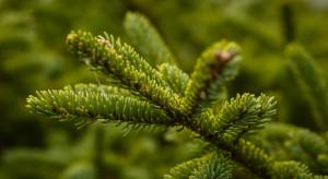 USA: Przed Świętami brakuje choinek
