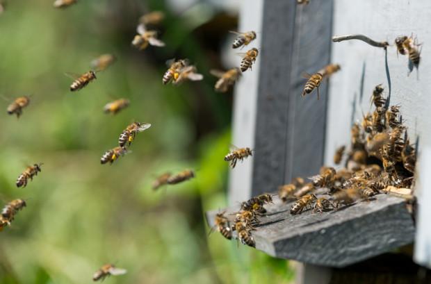 Gmina musi zapłacić pszczelarzom 320 tys. za wytrute pszczoły