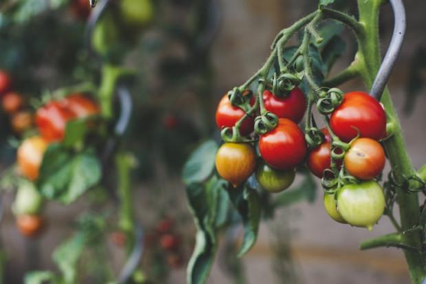 GUS: Produkcja warzyw gruntowych wzrosła o 4% rdr