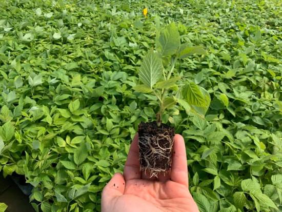 Jakie sadzonki roślin jagodowych wybierają plantatorzy?