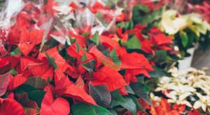 Bronisze: przed świętami wielu chętnych do zakupu kwiatów i choinek