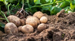 GUS: Zbiory ziemniaków ok. 40 proc. większe niż rok temu