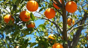 Brazylia: Mimo suszy produkcja pomarańcz w sez. 2020-2021 wzrośnie o 14%