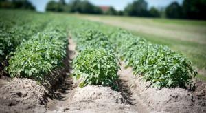 Niższa powierzchnia upraw ziemniaka w 2021 roku?
