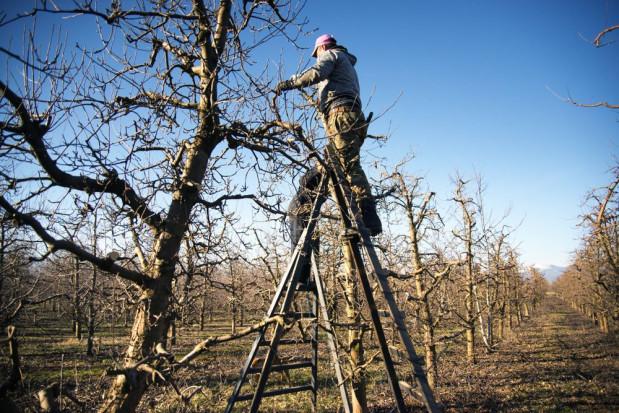 Zimowe cięcie sadu - jak usprawnić pracę?