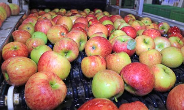 Ceny jabłek na sortowanie: sadownicy wstrzymują się z otwieraniem KA
