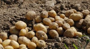 Wczesne odmiany ziemniaka jadalnego - które najplenniejsze?