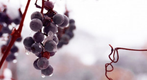 Zachodniopomorskie: zebrano winogrona na wino lodowe