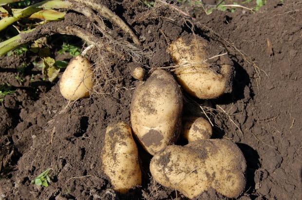 5 nowych odmian ziemniaka w Krajowym rejestrze