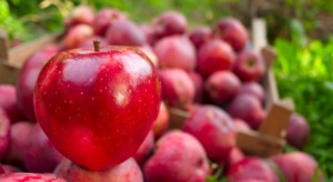 Niższy popyt na polskie jabłka, satysfakcjonujące ceny. Czy wzrosną?