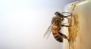Neonikotynoidy powodują zaburzenia snu i pamięci u owadów
