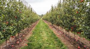 Nowa odmiana jabłek EverCrisp - skrzyżowanie Honeycrisp i Fuji