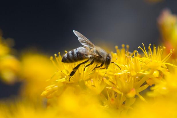 Małopolska: 450 tys. zł na działania związane z ochroną pszczół