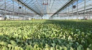 Jak przebiega produkcja rozsad w grupie Krasoń?