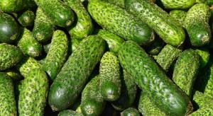 Bronisze: Rekordowe ceny ogórków gruntowych z upraw dogrzewanych