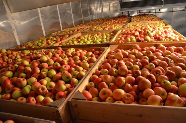 Przechowalnictwo jabłek: Problemy z chorobami fizjologicznymi