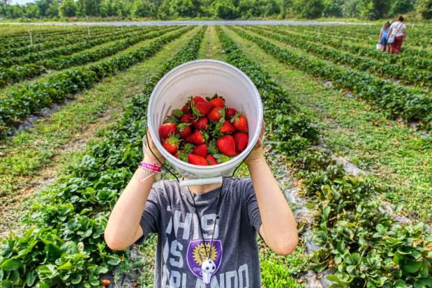 Mołdawia stawia na uprawę truskawek