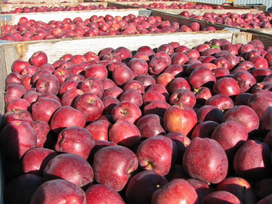 Ceny jabłek na sortowanie: Rośnie zainteresowanie Glosterem