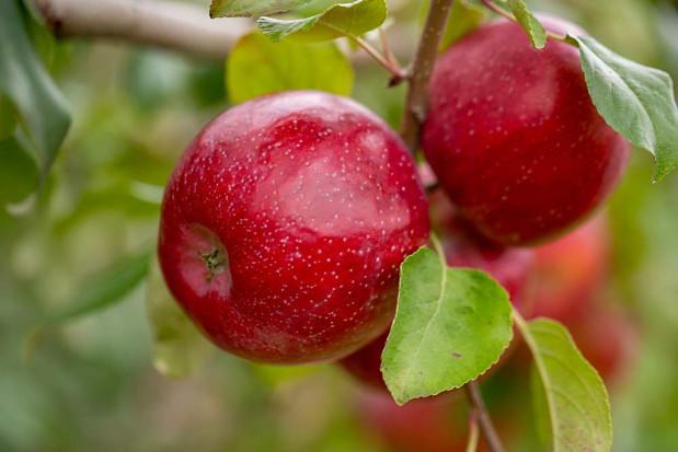 Triumph - nowa parchoodporna odmiana jabłoni wyselekcjonowana w USA