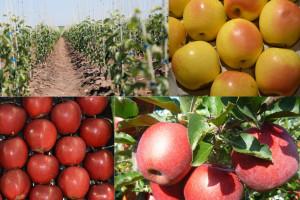 Top 5 najpopularniejszych odmian jabłoni w sezonie 2020/21