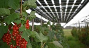 Panele słoneczne a uprawa jagodowych: lepsza jakość dzięki stabilnemu klimatowi