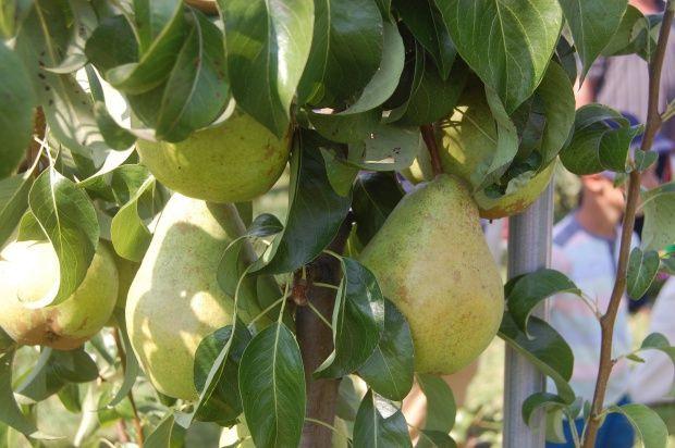 9 nowych odmian roślin sadowniczych