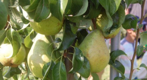 Jakie nowe odmiany roślin sadowniczych pojawią się w Krajowym rejestrze?