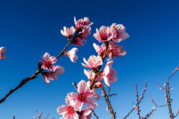 W Hiszpanii kwitną pierwsze drzewa owocowe