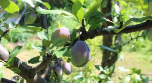 Jakie odmiany śliw wybrać do sadów ekologicznych?