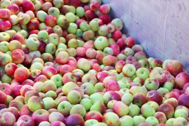 Stabilne ceny jabłek przemysłowych, spadło zainteresowanie Goldenem