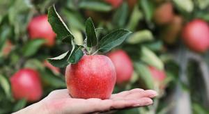 Jedzenie jabłek może zmniejszyć ryzyko zachorowania na Alzheimera