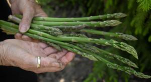 Niemieccy producenci szparagów nie wiedzą, czy Polacy dojadą na zbiory