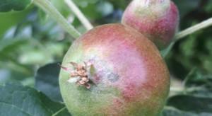 W Chinach trwają obserwacje nietypowego parcha jabłoni