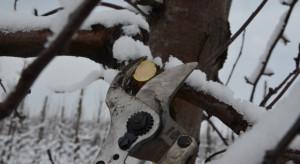 Sadownicy wznawiają zimowe cięcie