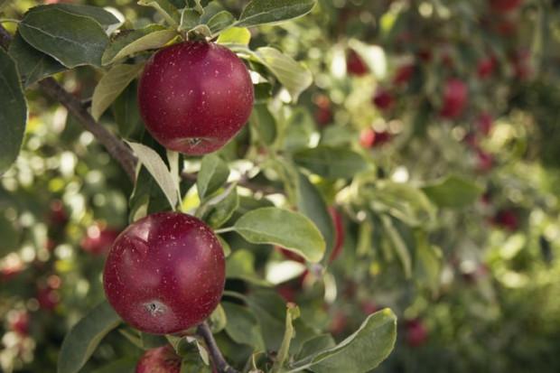 Z jakimi wyzwaniami mierzą się sadownicy w Mołdawii?