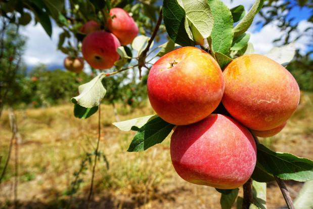 WAPA: lekki wzrost produkcji jabłek na półkuli południowej