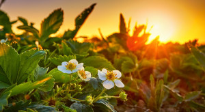 Uprawa truskawek 2021 - zapraszamy do udziału w ankiecie!