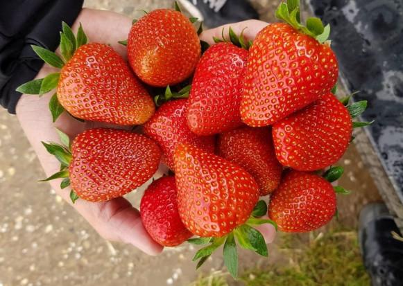 Plonotwórczość, zdrowotność, trwałość - cechy istotne przy doborze odmian truskawek