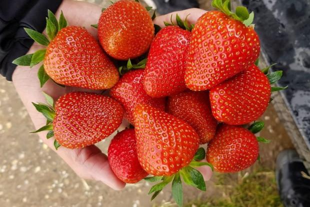 Które odmiany truskawek spełniają oczekiwania plantatorów?