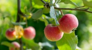 Coraz więcej ekologicznych jabłek w Południowym Tyrolu