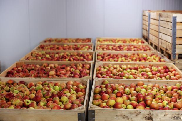 Ceny jabłek na sortowanie: sadownicy wolą sprzedawać za wagę w skrzyni