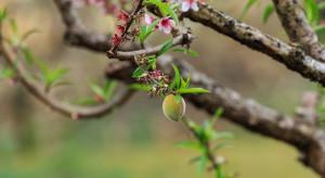 Hiszpania: dobre kwitnienie drzew pestkowych