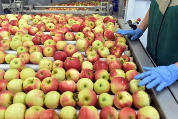 Świętokrzyskie: grupa Złoty Sad buduje chłodnie na 3,7 tys. ton jabłek