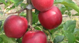 Ligol Red ma szanse wejść do pierwszej trójki odmian jabłoni w Polsce?